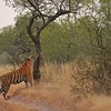 Tiger in the forest or jungle habitat of Ranthambore tiger reserve