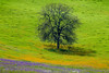 Oak and wildflowers,  San Luis Obisbo County, March