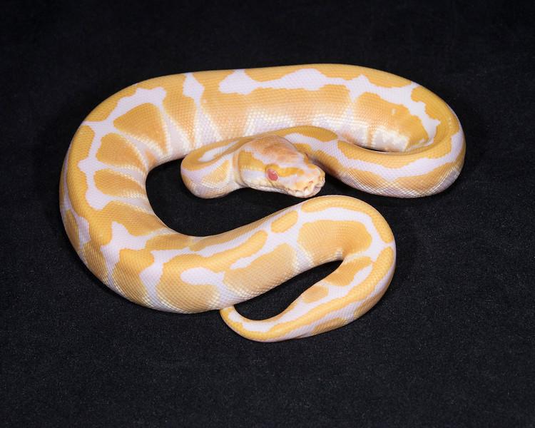 1825_F Albino, $200
