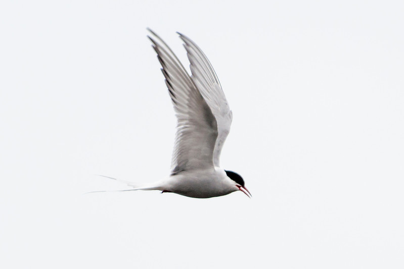 Arctic Tern - Arnarstapi, Iceland