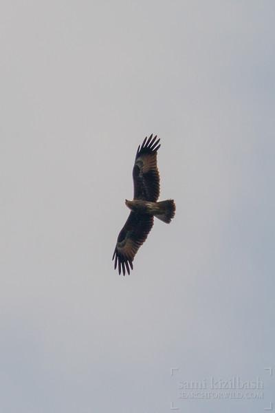 Black Kite 2.jpg