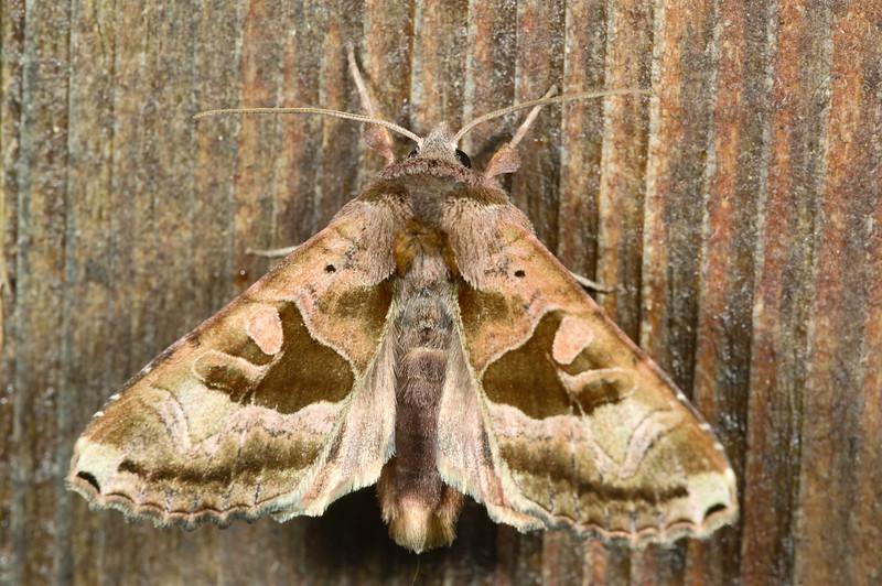 Brown Angle Shades Moth