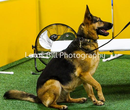 German Shepherd 3 KY