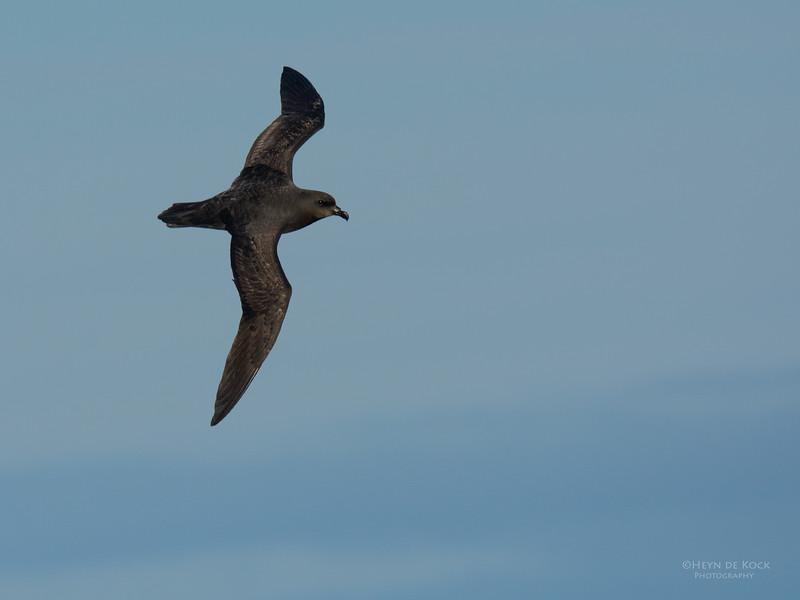 Great-winged Petrel, Eaglehawk Neck Pelagic, TAS, July 2015-1.jpg