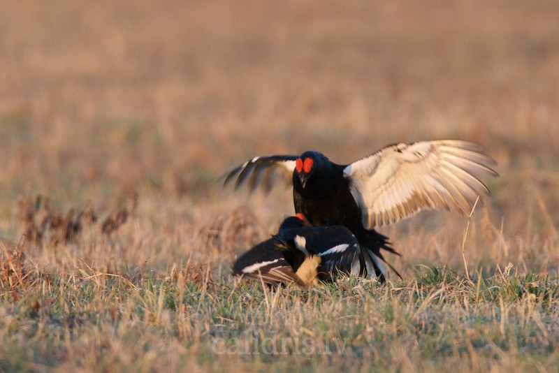 Black Grouse (males) fighting on ground in a lek / Rubeņu gaiļi cīnās riestā