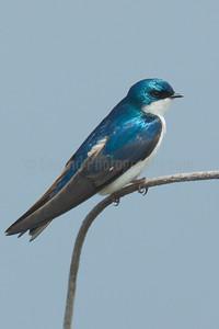 Swallows and Hummingbirds