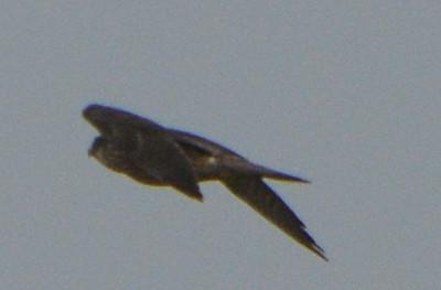 Peregrine Falcon - Salt Works - 10/27/13