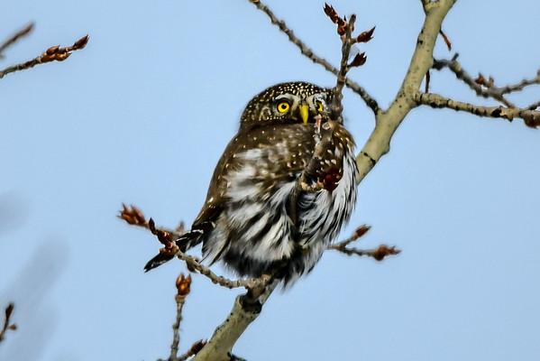 2-4-19 Northern Pygmy Owl