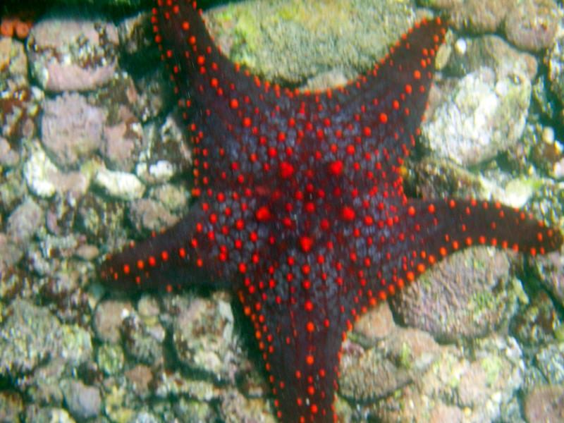 Panamic Cushion Sea Star
