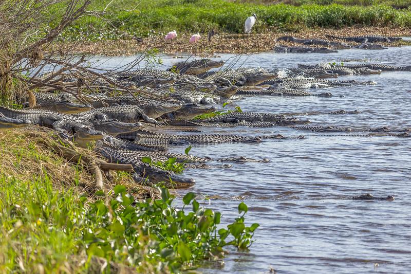 Large congregation of alligators at Myakka River State Park