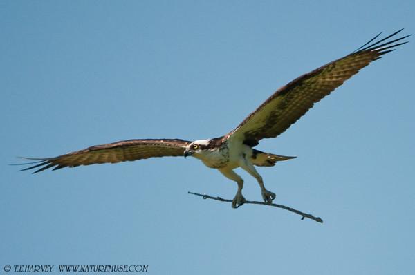 Ospreys-II