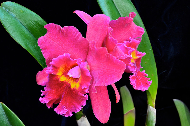 Pot. Sally Taylor 'Red Flame' x Blc. Fort Watson 'Mendenhall'