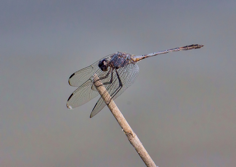 Black Setwing (Dythemis nigrescens), male;  Bentsen SP