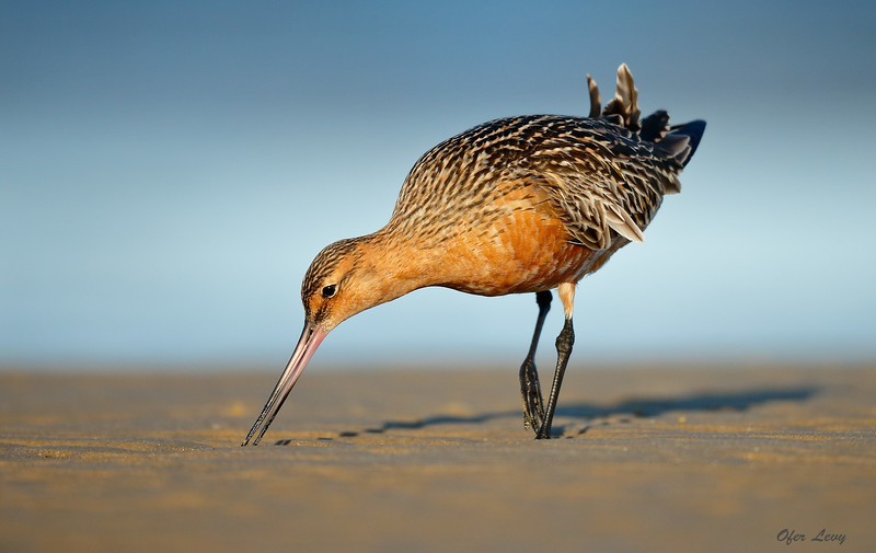 Bar-tailed Godwit in sunset 4a MASTER.jpg