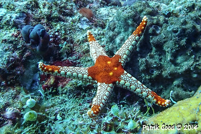 Red Tile Sea Star