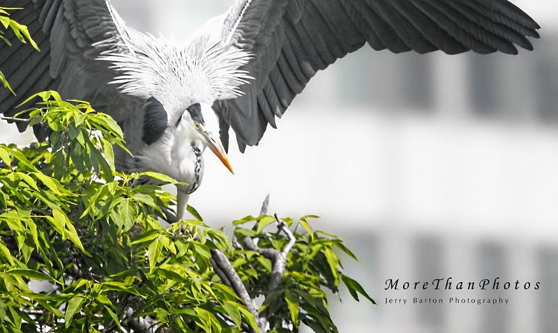 Grey Heron showing off