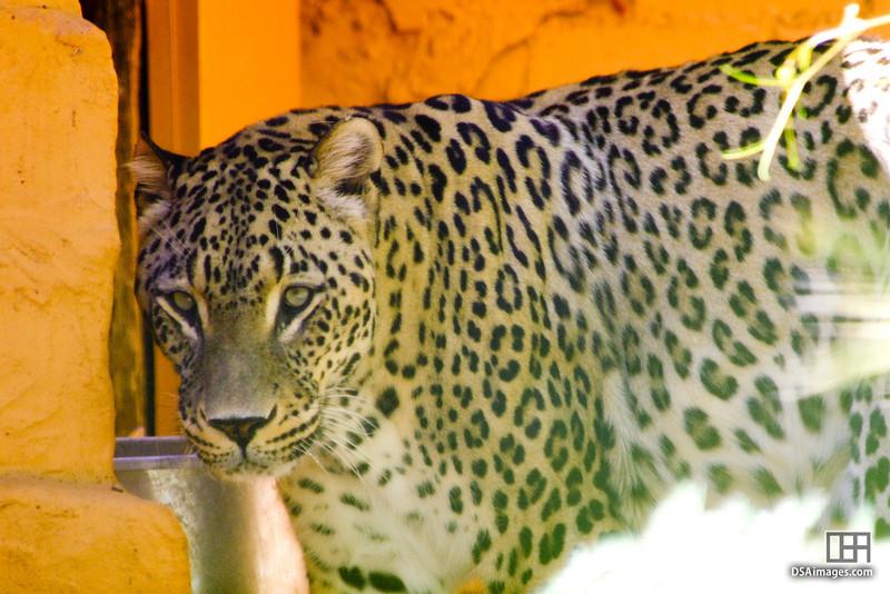 Cheetah at the Adelaide Zoo