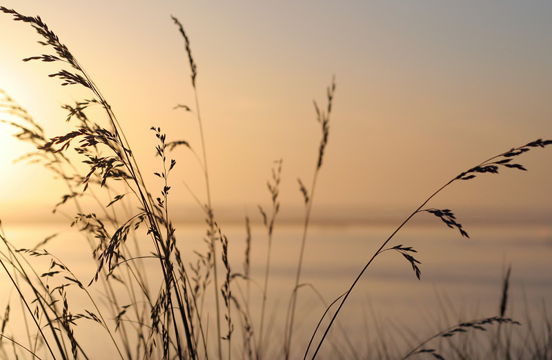 Grasses at sunset, southern Oregon coast.