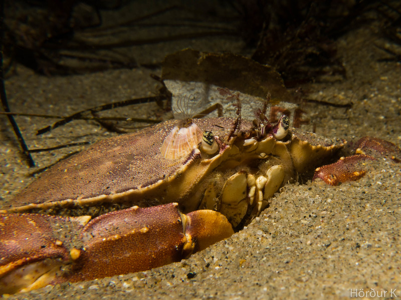 Yellow rock crab