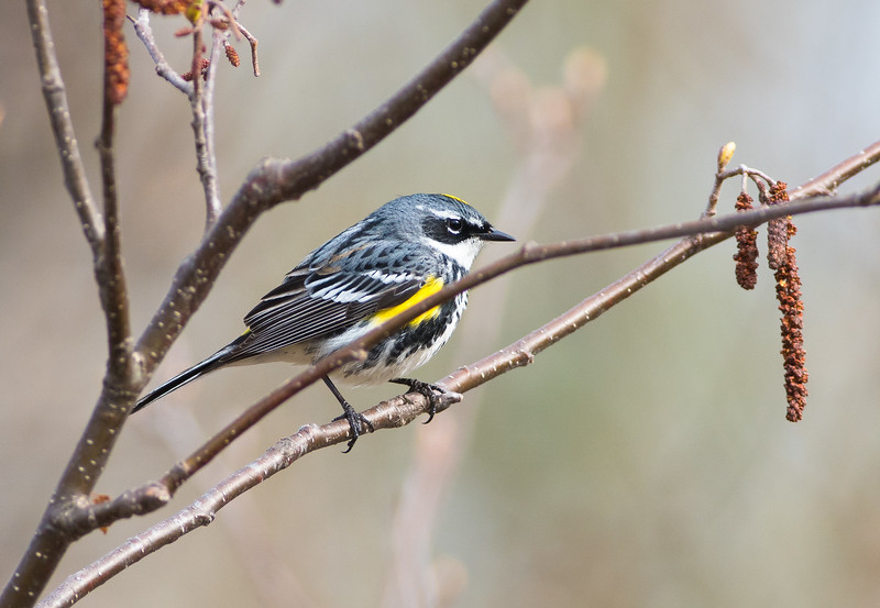 Yellow-rumped Warbler Wednesday Sax-Zim Bog MN-07175.jpg