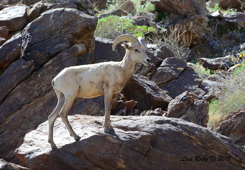 Bighorn Sheep - 3/7/2015 - Palm Canyon Trail, Anza Borrego