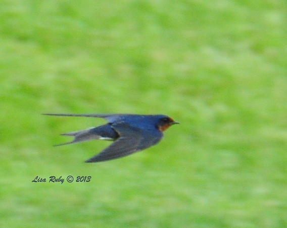 Barn Swallow, At the fish hatchery in Decorah Iowa, 6/30/13. A little fuzzy, but not bad for trying to capture a swallow in flight. These guys were feeding just above the grass.