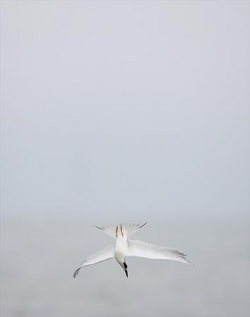 Shorebirds, Gulls, Auks, and Allies (<em>Charadriiformes</em>)