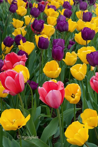 April 15_Tulip Garden_0893.jpg