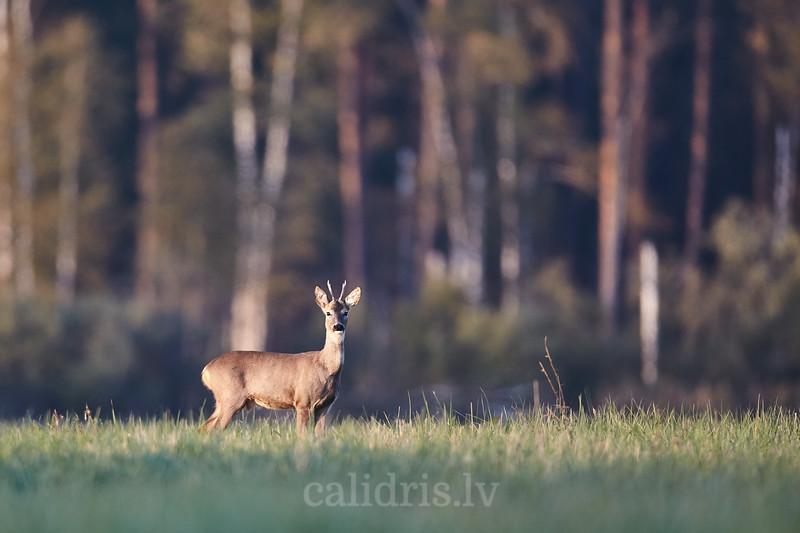 Sturnu buks / Roe deer stag