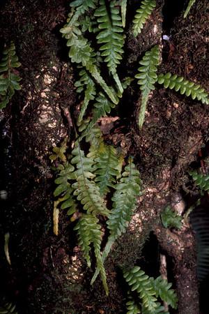 Adenophorus pinnatifidus