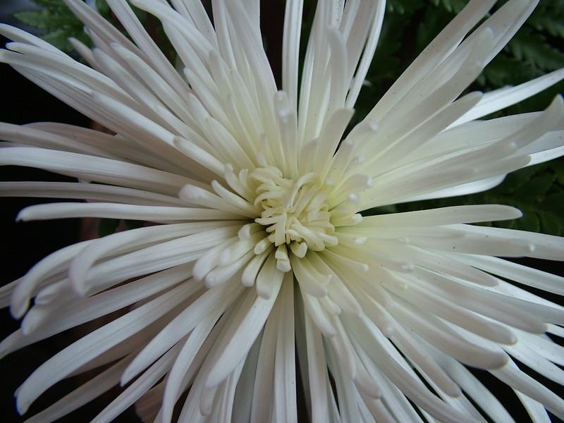 White Spider Chrysanthemum