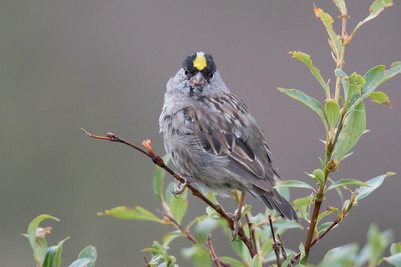 Golden-crowned Sparrow Tombstone Yukon-1.jpg
