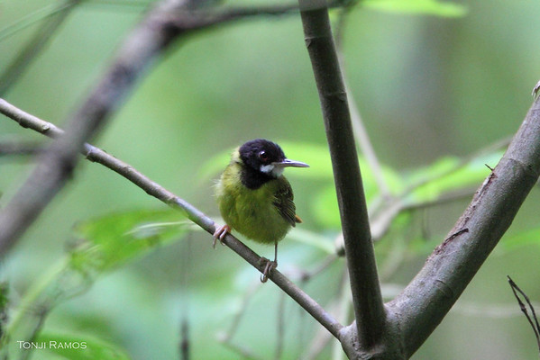 Yellow-Breasted Tailorbird