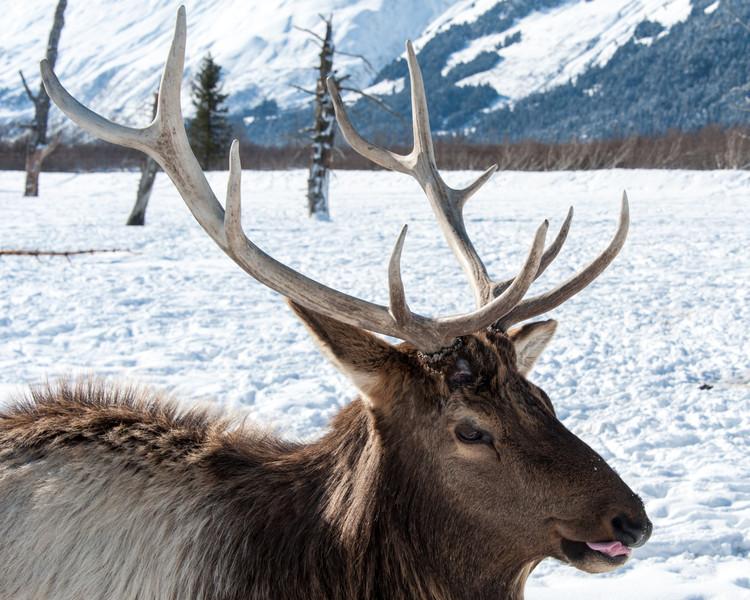 Caribou Tongue