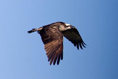 Rovfåglar – Raptors