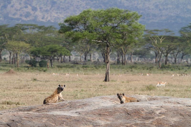Spotted Hyenas on the Rocks.JPG