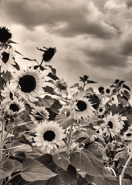 a moment, with sunflowers