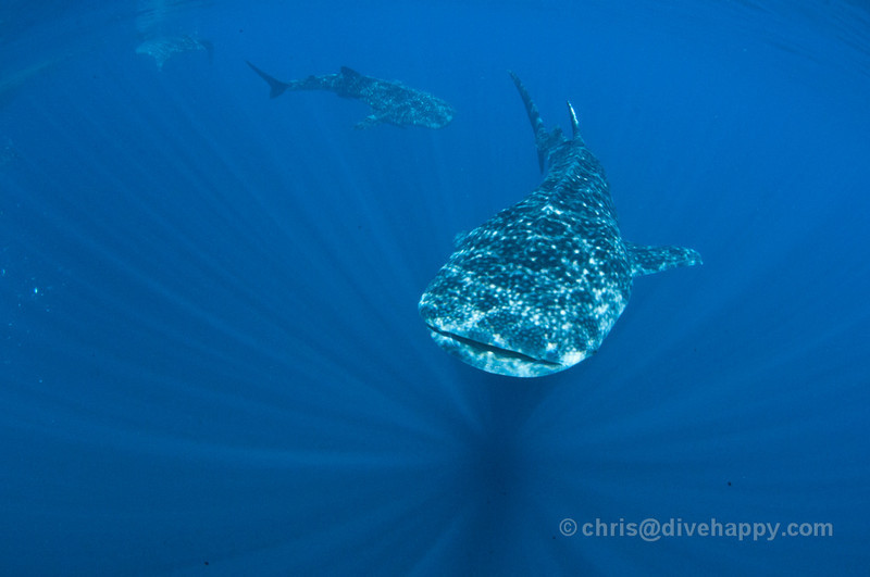 Whale Sharks underneath Bagans (Fishing Platforms) at Kwatisore, Cendrawasih Bay, Indonesia