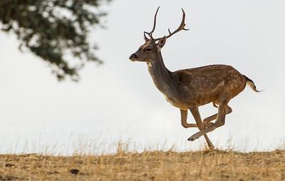 Fallow Deer (Gamo)