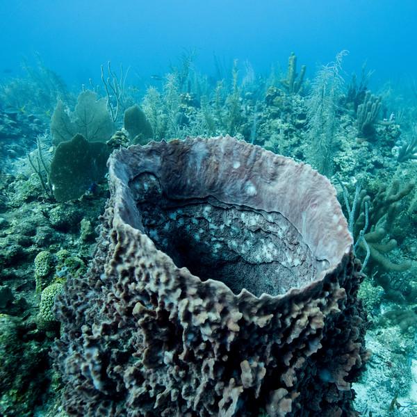 Tube Sponge Coral under water, Secret Spot, Turneffe Atoll, Belize Barrier Reef, Belize