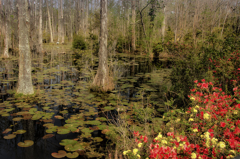 On the second day we traveled to Cypress Gardens.  Unfortunately we were about 1 week early before the flowers peaked but this is what a lot of the garden looked like with cypress trees out in the middle of a swampy area.