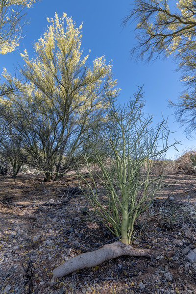 BR - Palo Verde Growing From Root #1