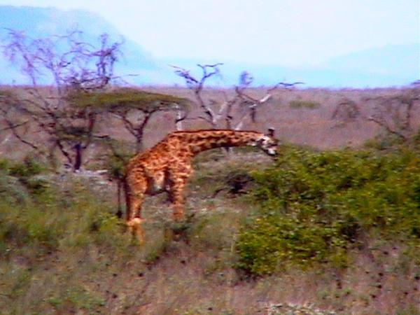GiraffeT_0123