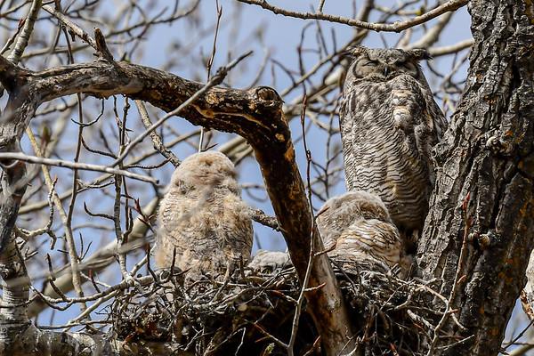 4-25-19 Great Horned Owl Family - Sandy Beach