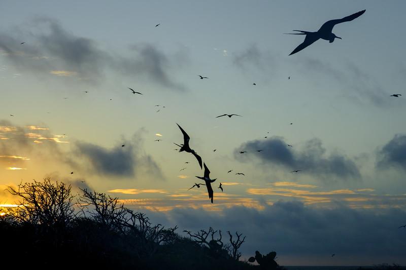Frigatebirds above North Seymour Isand