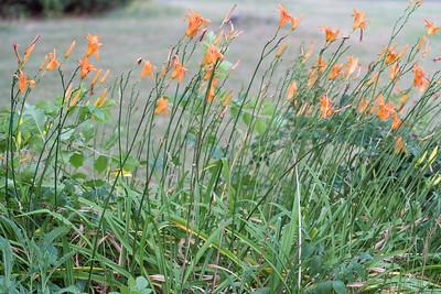 7.14.16 Lilies in the Neighborhood