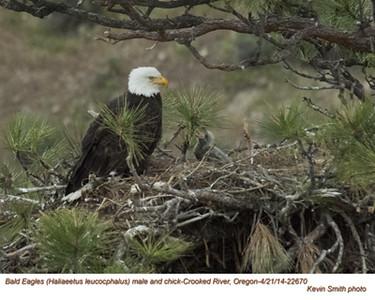 Bald Eagles M&N 22670.jpg