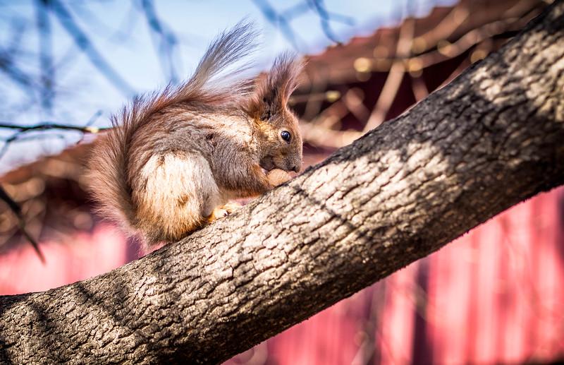 Squirrel in Victory park