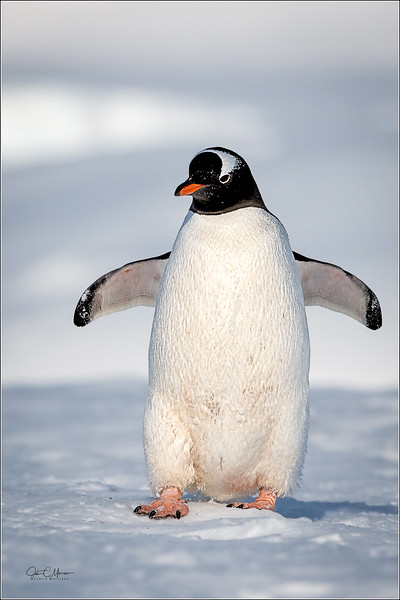 J85_5174 Penguin walking port LPTW.jpg