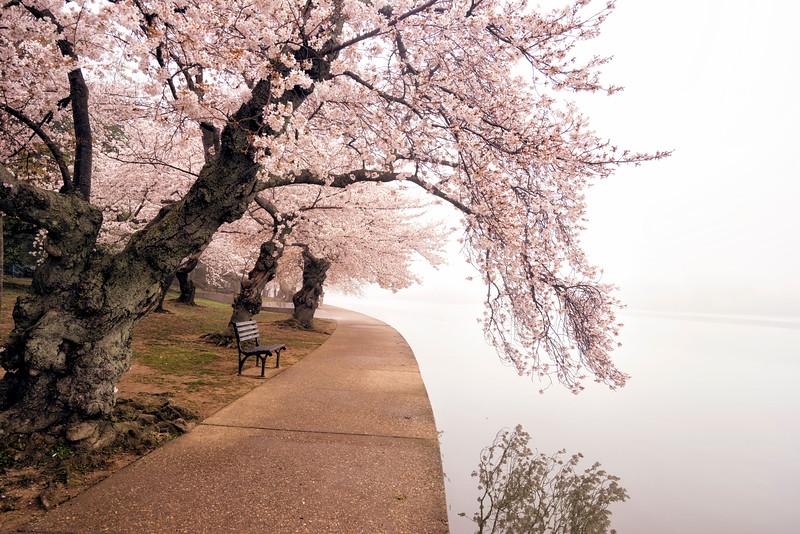 cherryblossomfog.jpg
